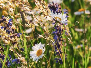 Sonnige Blumenwiese